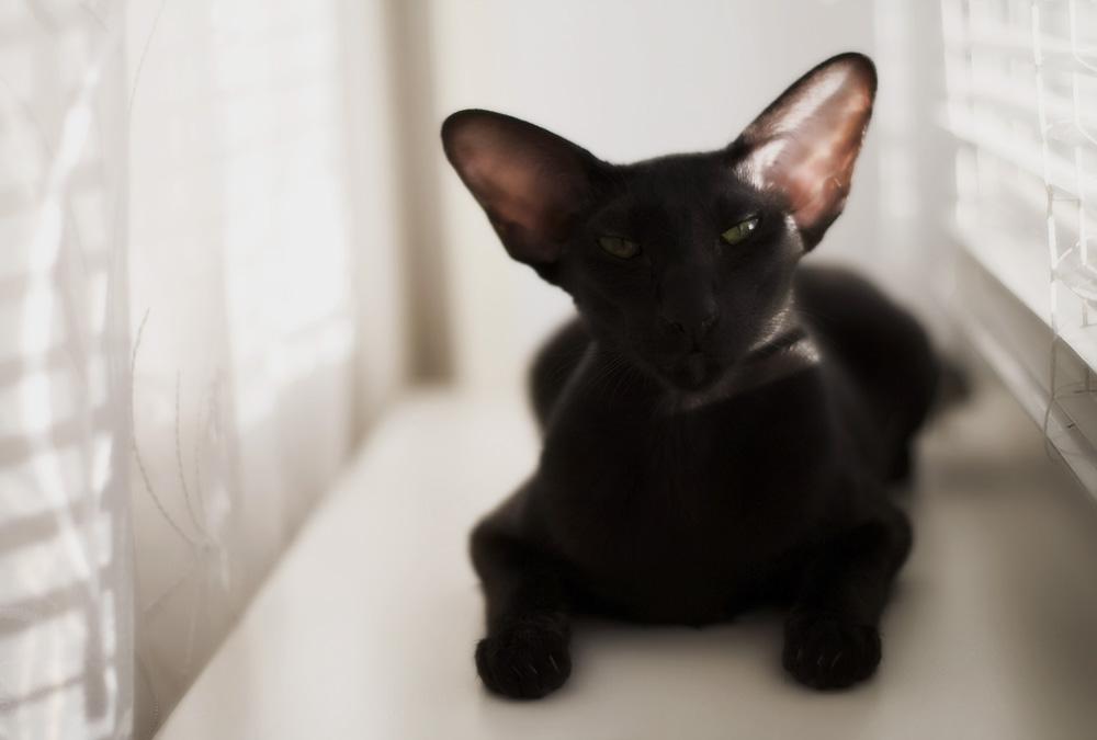 Самые умные и преданные породы кошек, которые подходят для квартиры