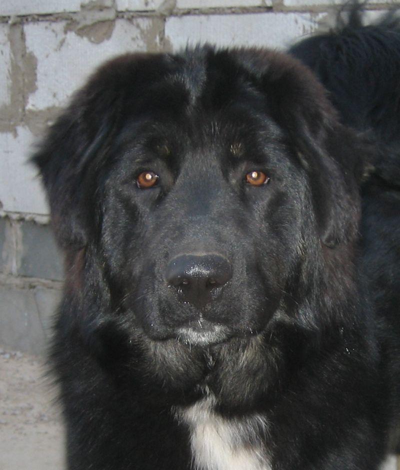 Майоркская овчарка - фото, цена, описание, видео