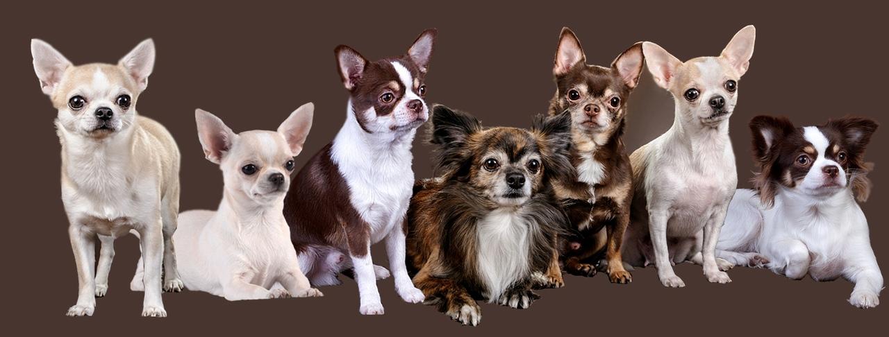 О стандартах чихуахуа. статьи mini-dogs о декоративной породе собак чихуахуа.