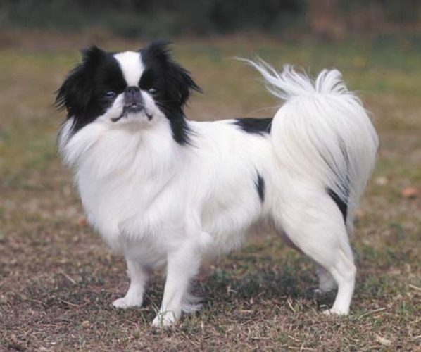 Характеристика собак породы японский хин с отзывами и фото