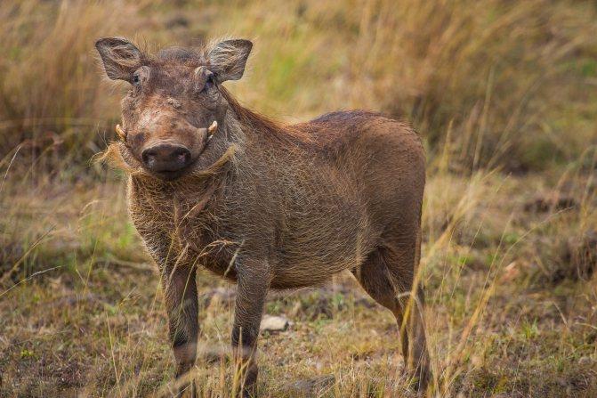 Как называется африканская свинья с длинными волосами по бокам морды