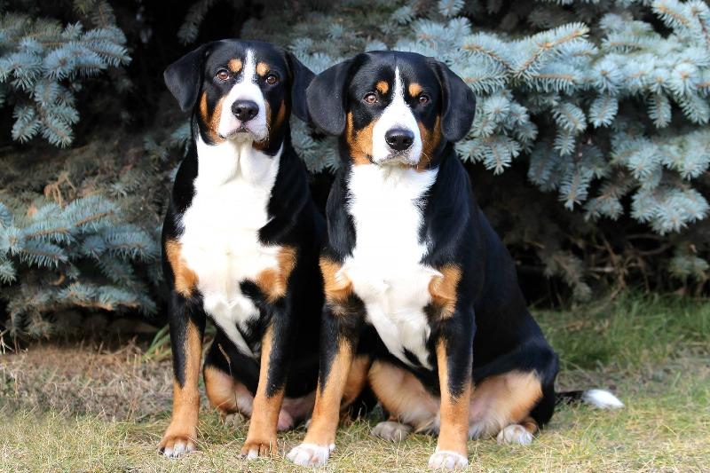 Энтлебухер зенненхунд: описание породы собак с фото и видео