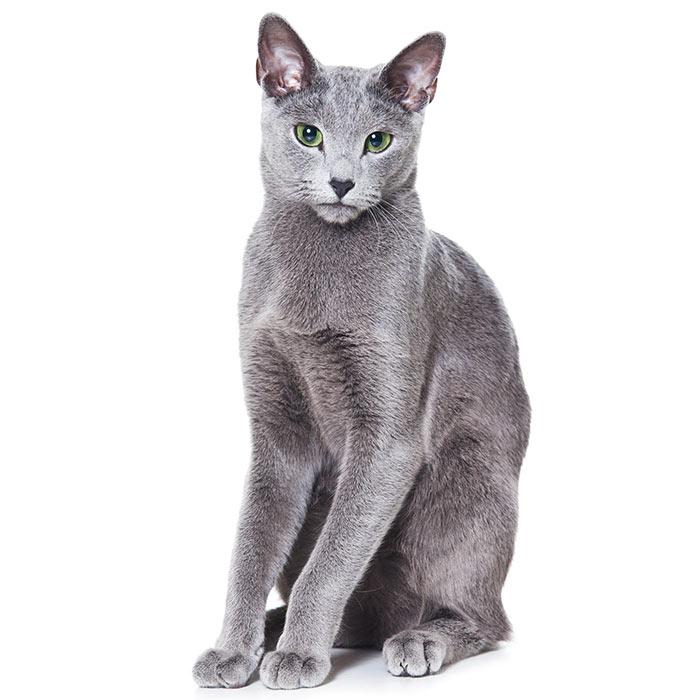 Русская голубая кошка: описание, фото, стандарт, характер - миркошек.рф