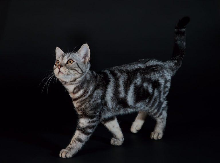 Топ 10 породы новых кошек: как появляется новые виды кошек и кто появился за последние 20 лет? советы +фото и видео