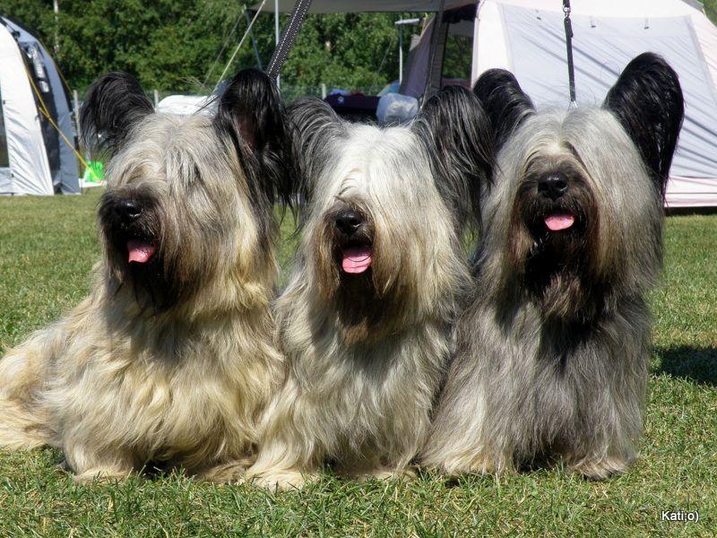 Скайтерьер – благородная собака с шотландского острова скай