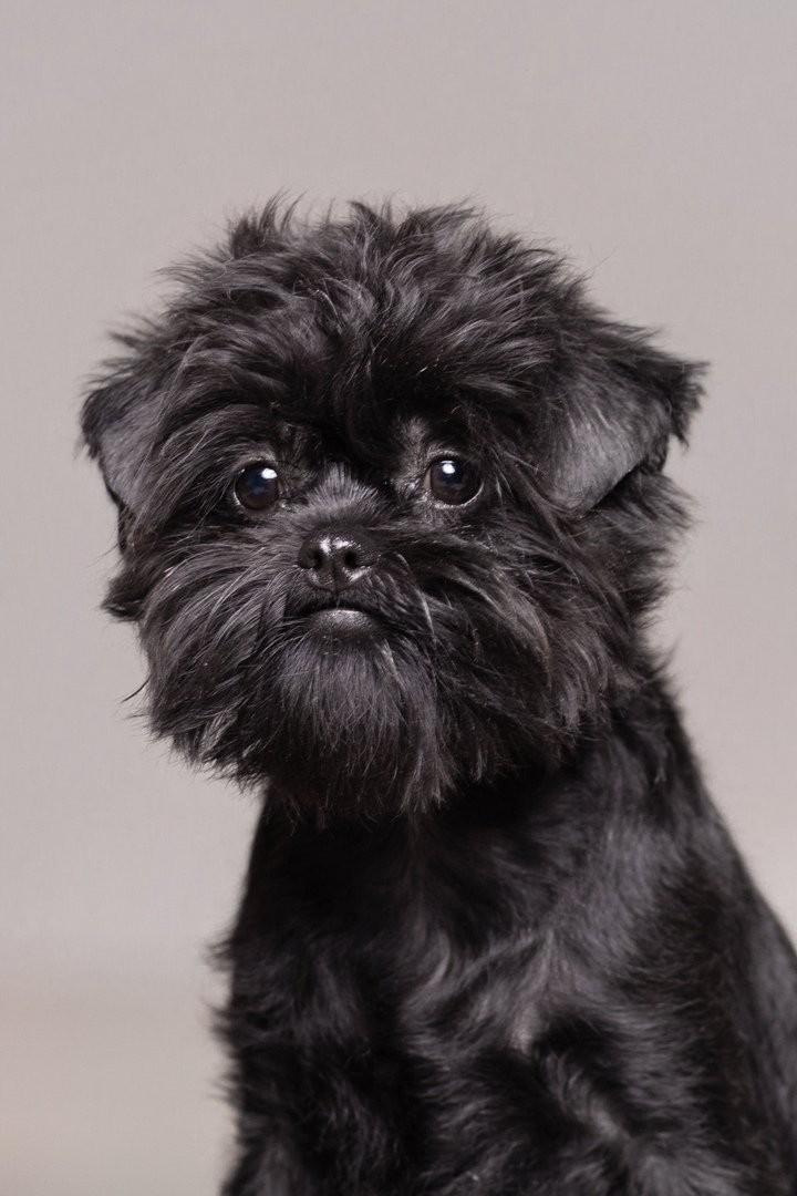 Аффенпинчеры (33 фото): описание породы, плохая и хорошая сторона собак, мнения владельцев об обезьяньих пинчерах