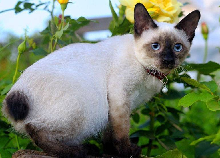 Тайская кошка: описание породы и характер, уход, кормление, достоинства