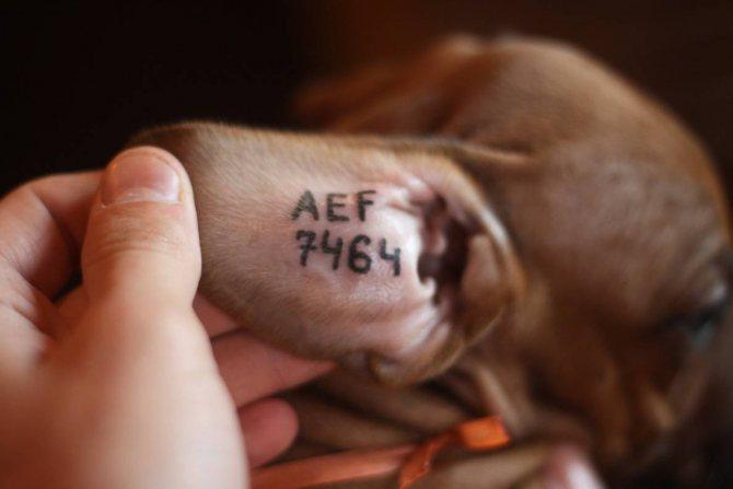 Что такое клеймо и клеймение собак?