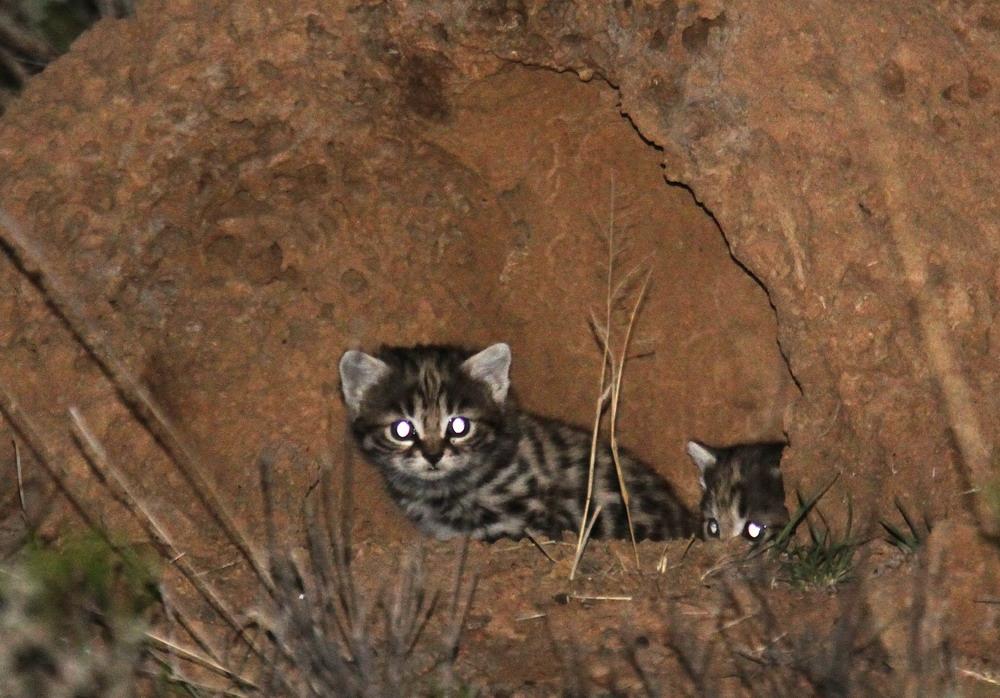 Африканская черноногая кошка