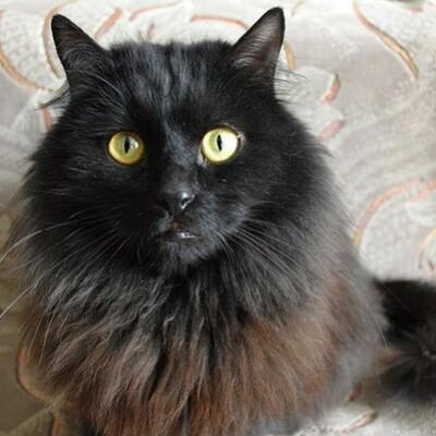 Шантильи тиффани: покупка котенка, его кормление и здоровье (фото), сколько стоит котенок шантильи тиффани? сколько лет живут шантильи-тиффани? чем кормить и как часто? какое здоровье у шантильи тиффа