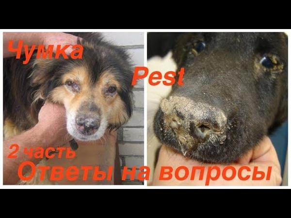 Чумка у собак - симптомы, инфекция и лечение   прохвост