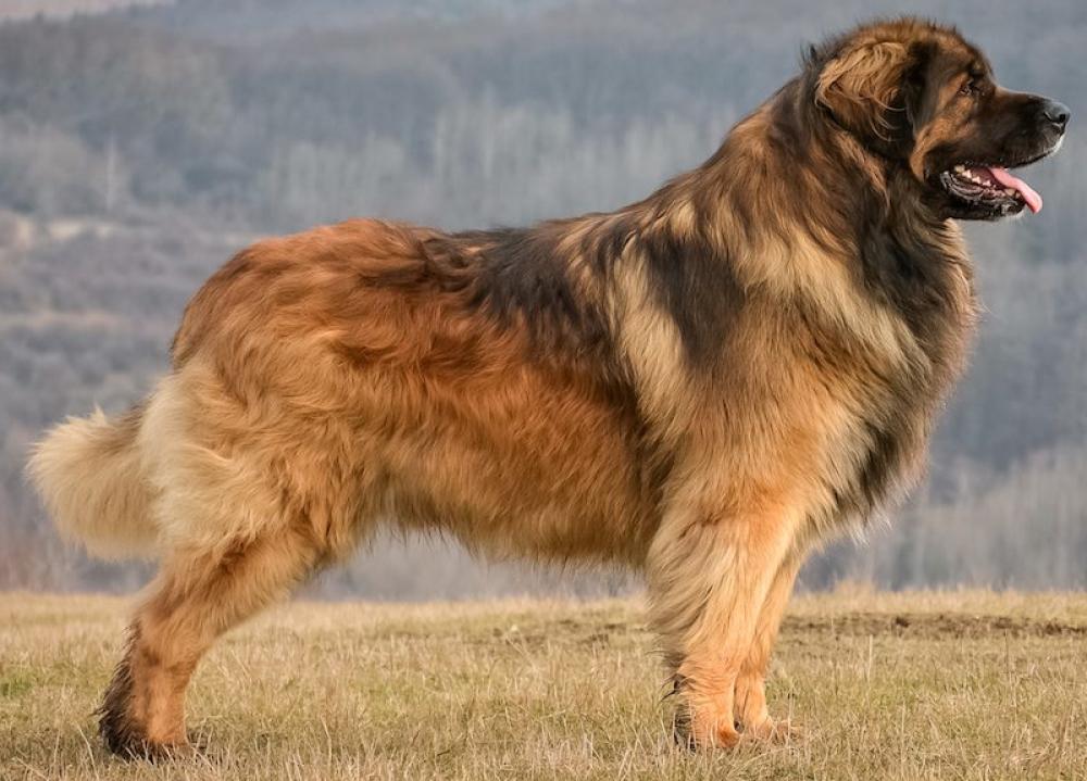 Топ 38 самых больших собак в мире (с фото)   dogkind.ru