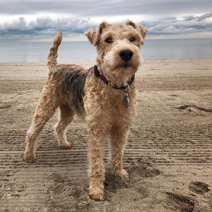 Лейкленд терьер: характеристики породы собаки, фото, характер, правила ухода и содержания - petstory
