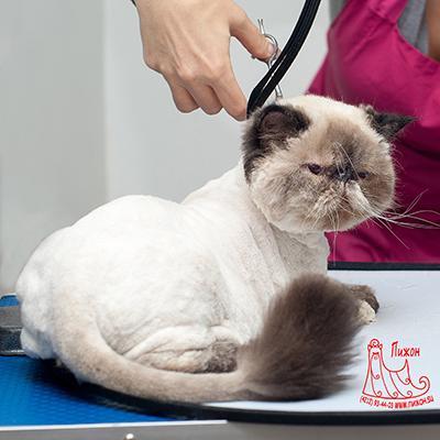 Груминг британских кошек: ряд особенностей стрижки обусловленных признаками породы