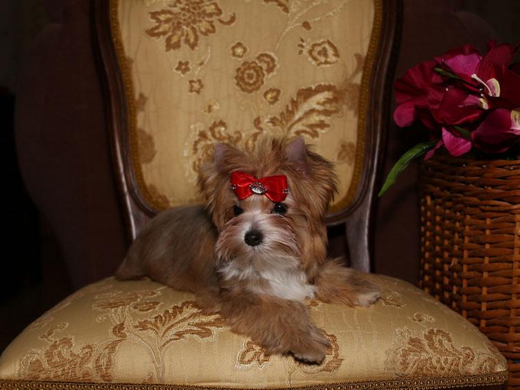 ⓘ русская салонная собака - порода декоративных собак, авторск