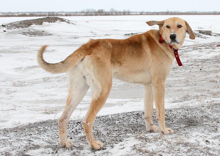 Характеристика собак породы русская пегая гончая с отзывами и фото