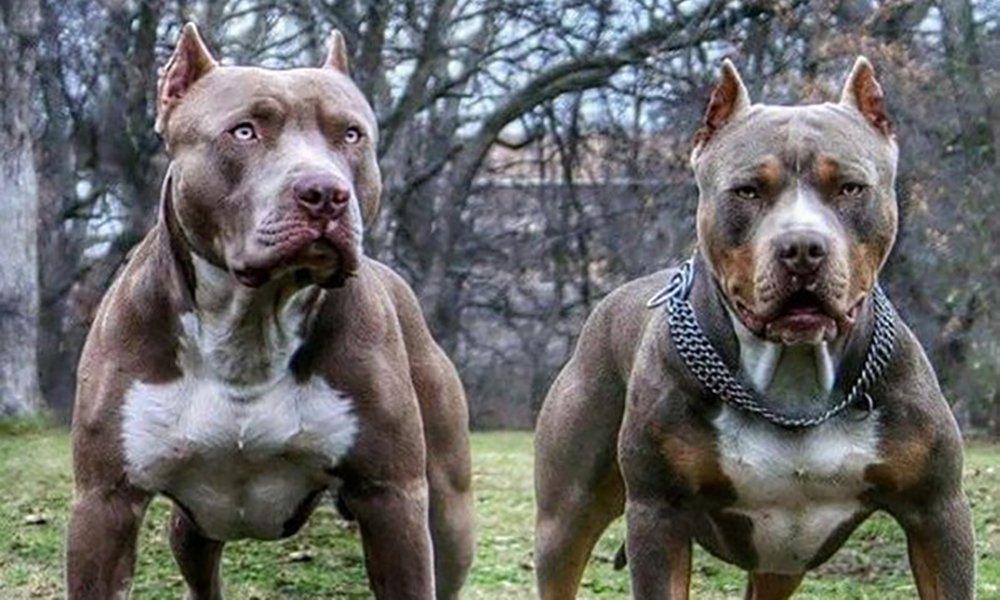 Представители бойцовских пород собак