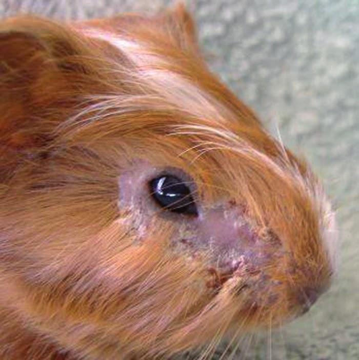 """Содержание морских свинок в домашних условиях   блог ветклиники """"беланта"""""""