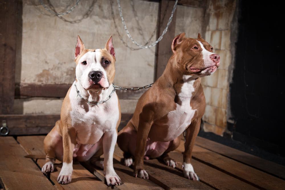 Бойцовские собаки: список пород с фото и названиями