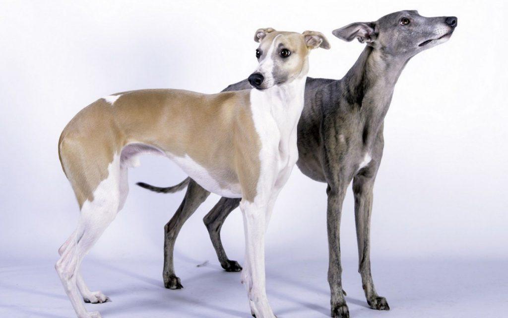 Уиппет — необычная гладкошёрстная порода собак. фото, видео, отзывы, характер, история, цена щенков + обзор породы от а до я