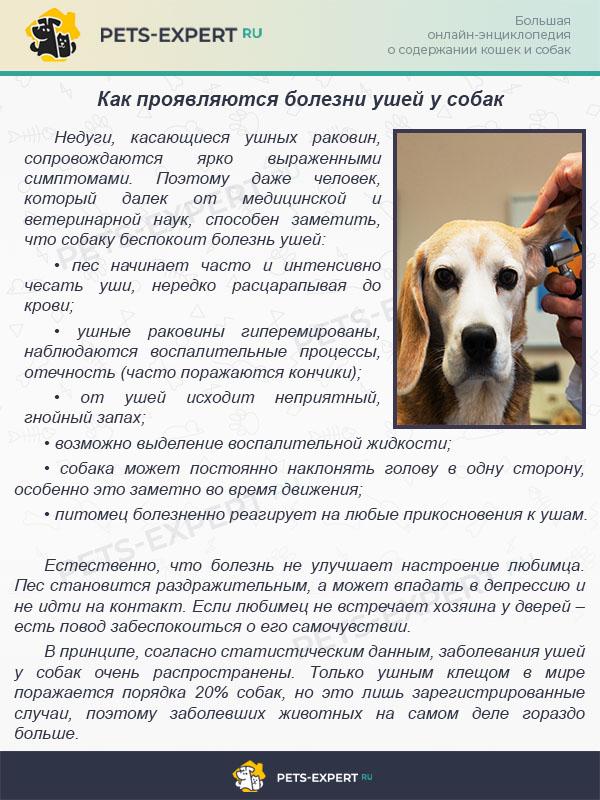 Чистить уши собаке: чистка своими руками в домашних условиях. 145 фото и видео инструкция по чистке ушей для разных пород