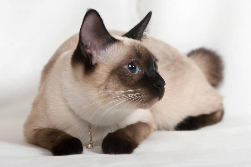 Тайский бобтейл: описание, цена котенка, фото кошки, уход и здоровье, особенности содержания