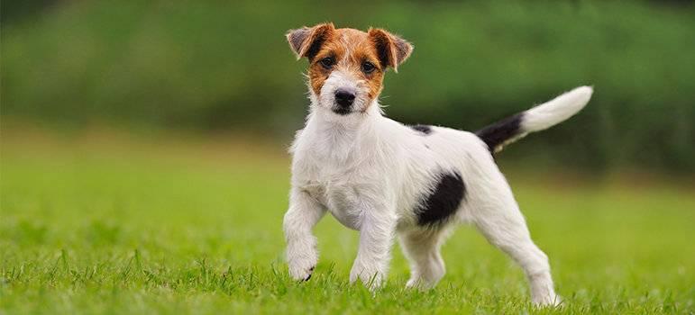 Жесткошерстный джек-рассел-терьер (26 фото): описание породы, характер длинношерстных щенков и их содержание