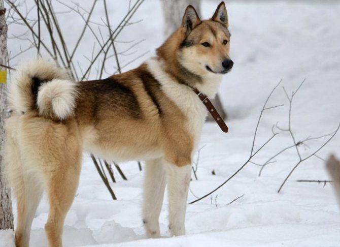 Западносибирская лайка (29 фото): описание породы собаки, кормление и уход, клички для девочек и мальчиков