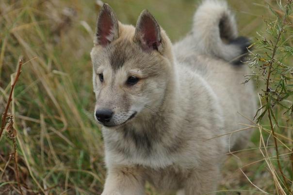 Отличный охотник и веселый компаньон – западносибирская лайка
