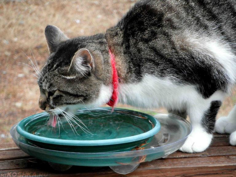 Почему кошка пьет много воды (полидипсия): ветеринарная служба владимирской области