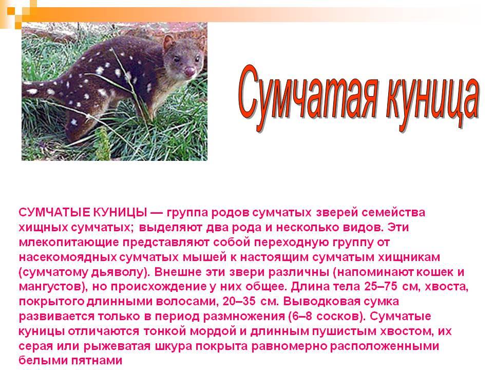 Лесная куница. образ жизни и среда обитания лесной куницы   животный мир