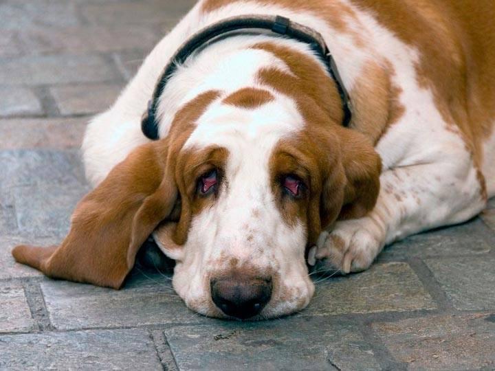 Бассет-хаунд - описание, характеристика и стандарт породы, выращивание щенков и уход в домашних условиях