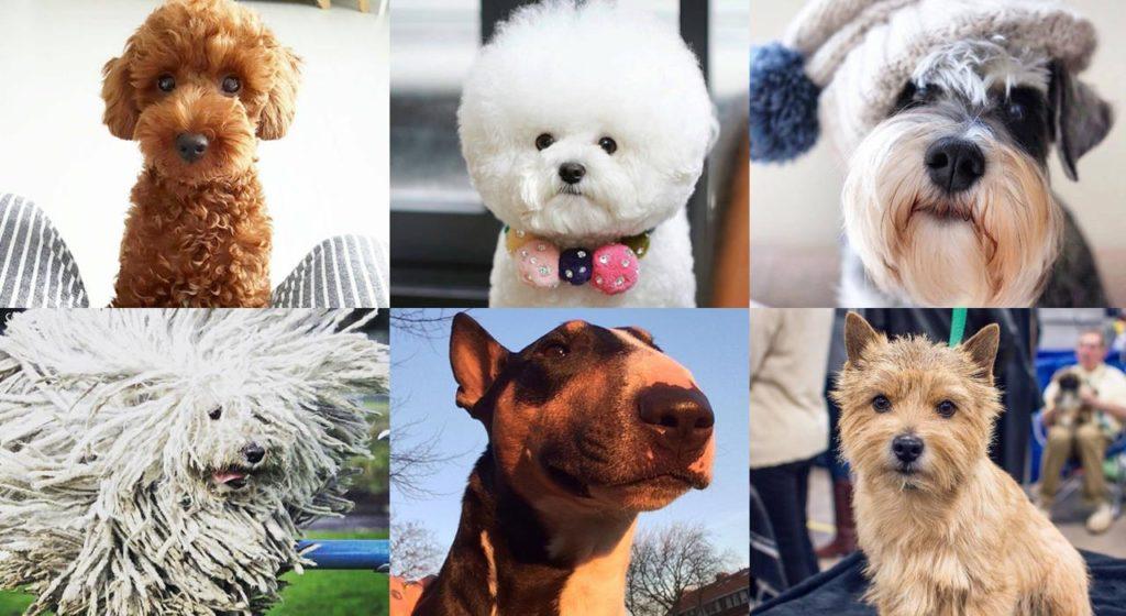Топ-25 гипоаллергенных пород собак для аллергиков и астматиков: большие, средние и маленькие питомцы