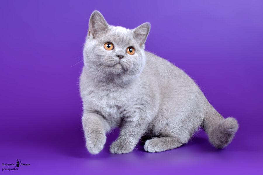 Палитра окрасов британской кошки