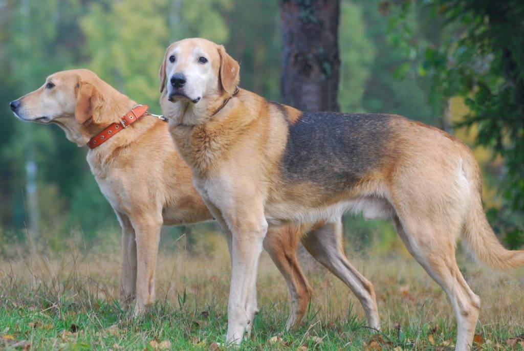 Охотничьи собаки: топ-25 лучших пород с фото, описанием и ценами