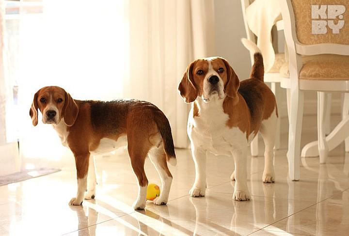 Содержание собаки породы бигль в квартире – правила, советы по уходу
