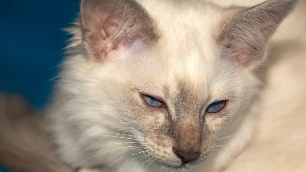 Балинезийская кошка. описание, особенности, уход и цена за балинезийской кошки   животный мир