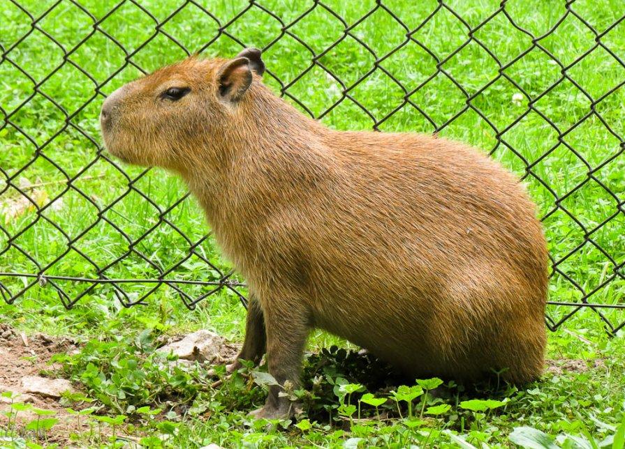 Капибара (hydrochoerus hydrochaeris): описание животного, фото, интересные факты, ареал