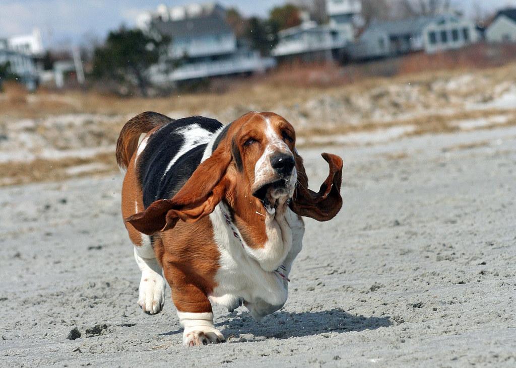Бассет-хаунд: порода собак-компаньонов сохотничьим прошлым