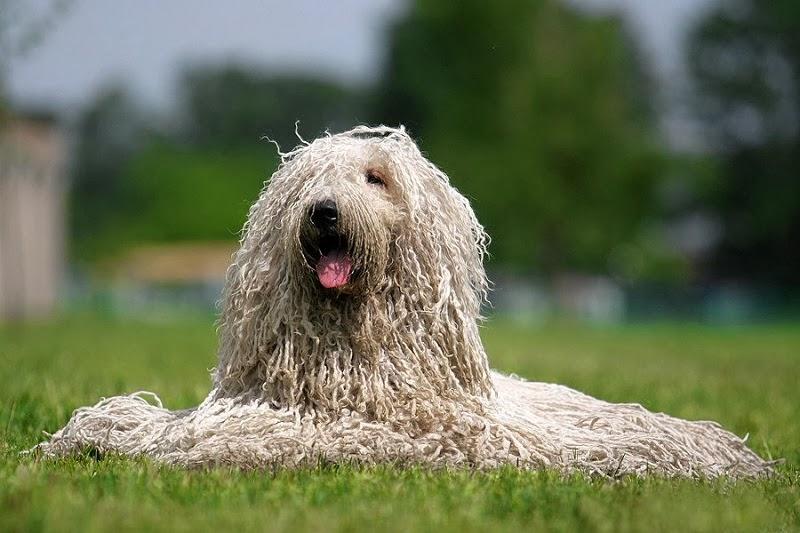 Топ-10 самых дорогих пород собак в рейтинге zuzako