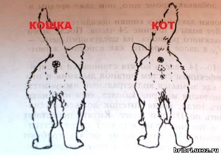 Как отличить кота от кошки: разбираем на примере взрослых особей и котят