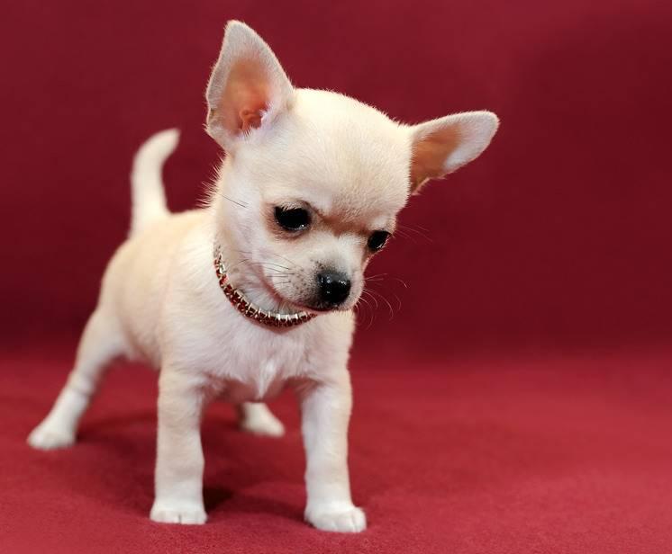 Все о мини чихуахуа: фото щенков и взрослых короткошерстных собак, описание породы и отзывы владельцев