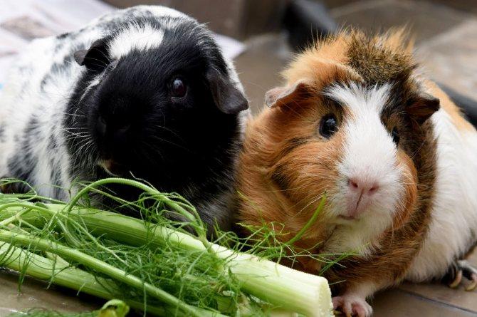 [новое исследование] чем кормить морскую свинку в домашних условиях: список продуктов питания и рекомендации