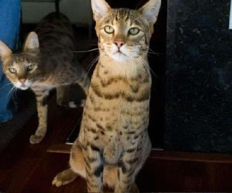 Самая большая порода кошек в мире топ-6 - wlcat.ru