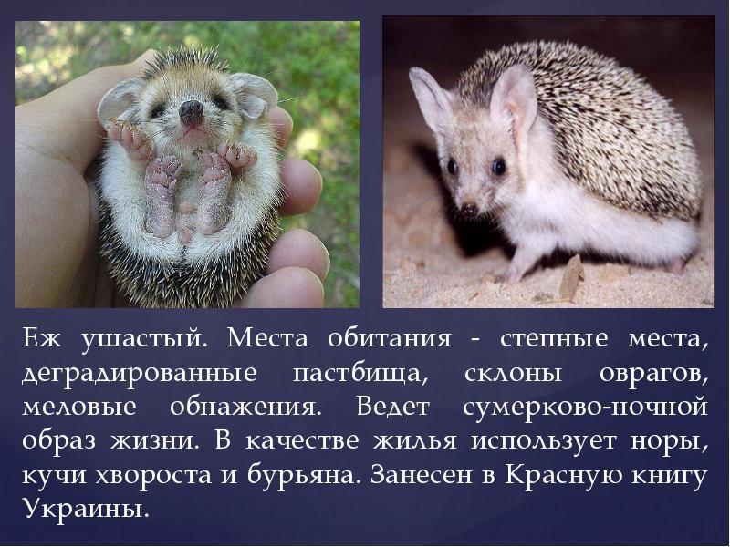 Где живет ежик и чем питается? :: syl.ru