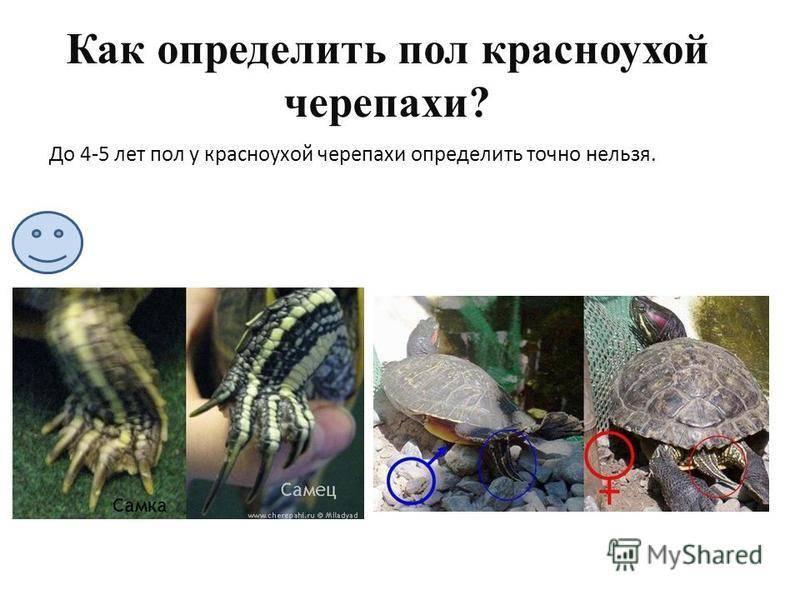 Как определить пол красноухой черепахи: характерные особенности