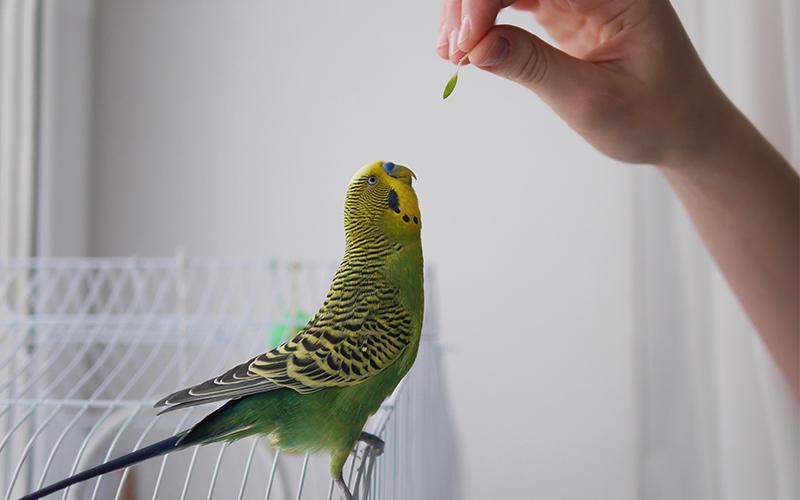Как дрессировать волнистого попугая в домашних условиях