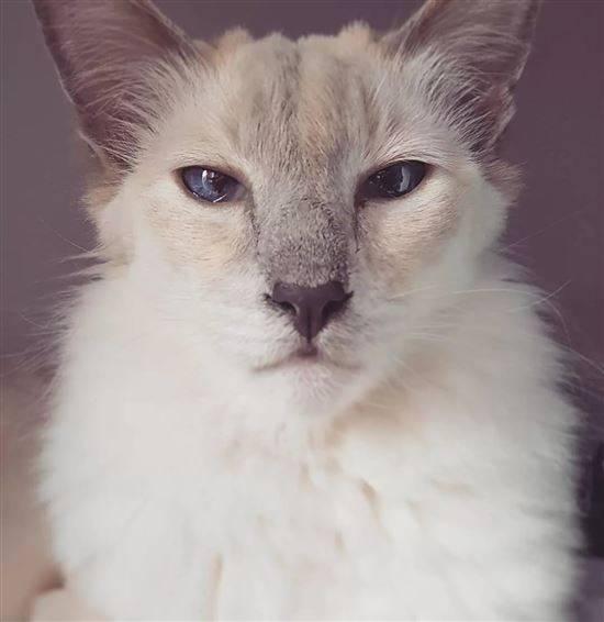 Балинезийская кошка – кошки, цена, описание, 33 фото