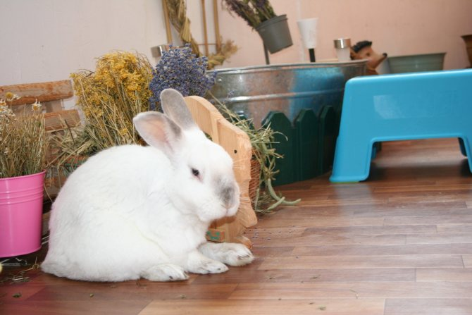 Все о декоративных кроликах, уходе и условиях их содержания