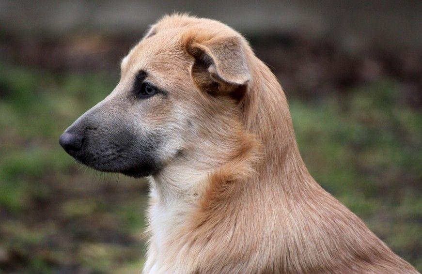 Чинук — уход, описание породы и характер собаки. нюансы выбора и воспитания (115 фото + видео)